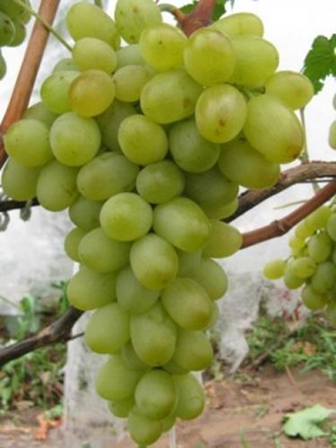 083016 1815 1 - Виноград «Новый Подарок Запорожью»
