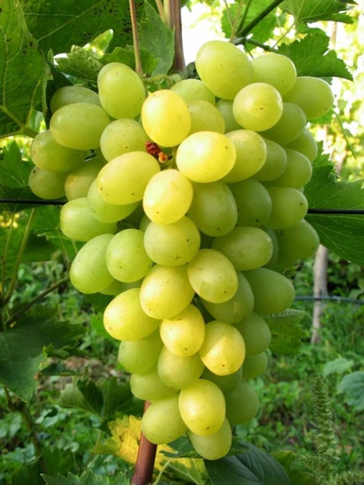 083016 1815 5 - Виноград «Новый Подарок Запорожью»