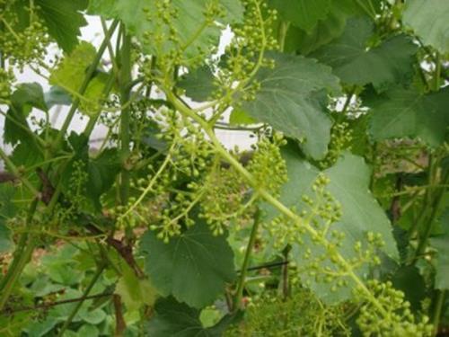 083016 1815 6 - Виноград «Новый Подарок Запорожью»