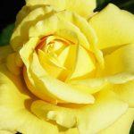 Landora2 150x150 - Роза чайно-гибридная Ландора (Landora)