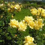 Landora3 150x150 - Роза чайно-гибридная Ландора (Landora)