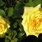 Landora5 150x150 - Роза чайно-гибридная Ландора (Landora)