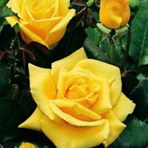 082116 0930 1 300x300 - Роза чайно-гибридная Ландора (Landora)
