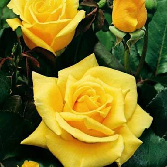 Роза чайно-гибридная Ландора (Landora)