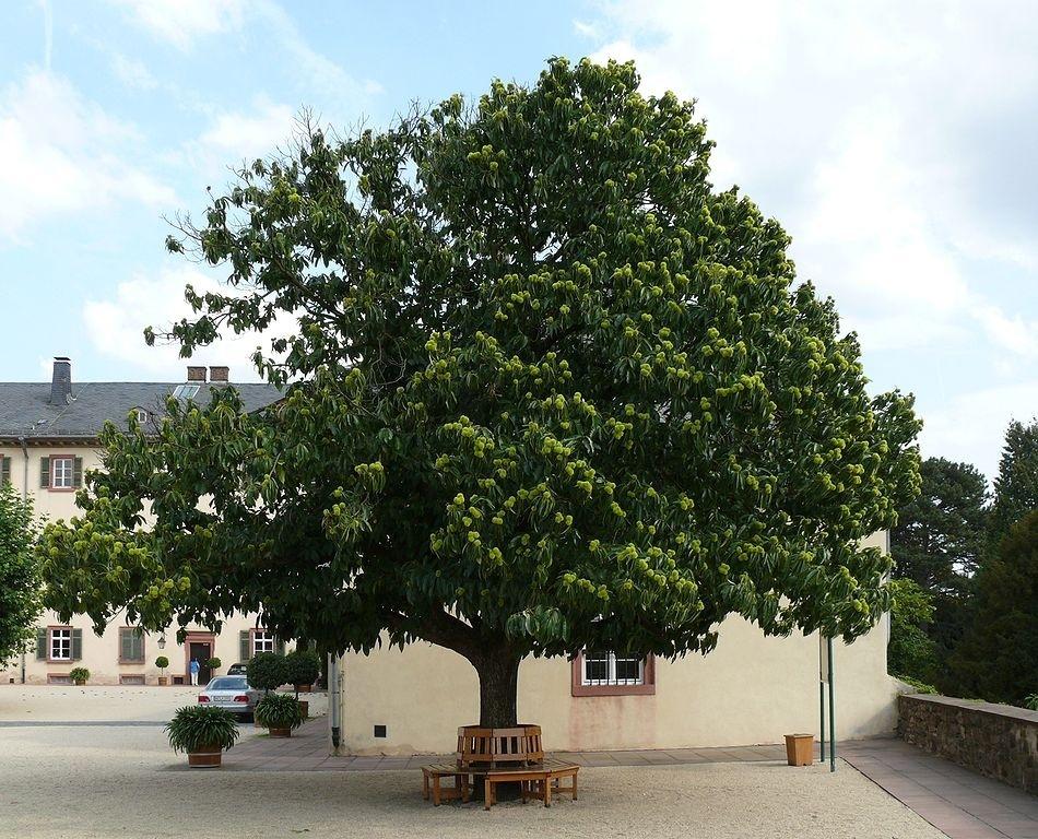 Каштан дерево, посадка и уход