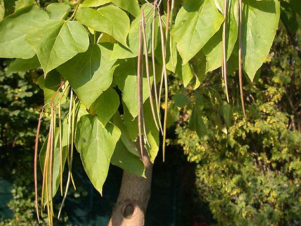 Катальпа: выращивание и уход